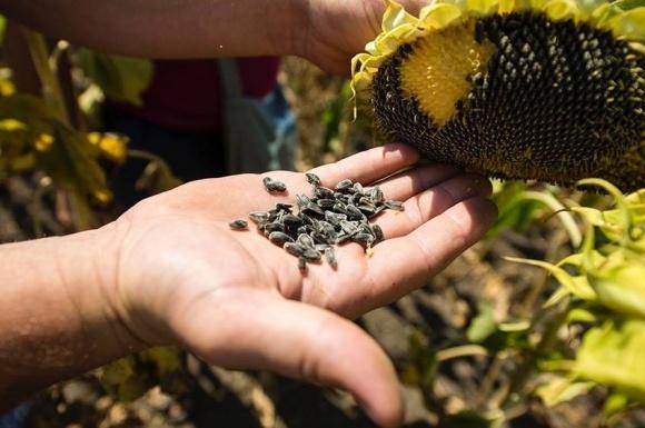 FАО знову видає насіння домогосподарствам і фермерам на сході України фото, ілюстрація
