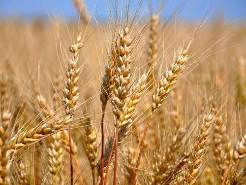 Аграрії Черкащини намолотили майже 2.5 млн тон кукурудзи фото, ілюстрація