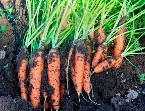 Вартість минулорічної моркви знизилась до 10 грн/кг фото, ілюстрація