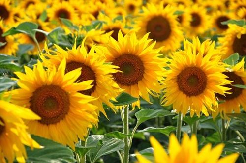 BASF виходить на ринок насіння соняшнику фото, ілюстрація