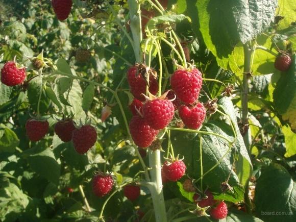 Польща відмовилась фінансувати створення малинових насаджень в Україні фото, ілюстрація