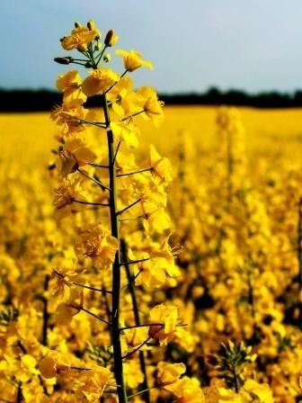 Экспорт украинского рапса в текущем сезоне превысил 2 млн тонн  фото, иллюстрация