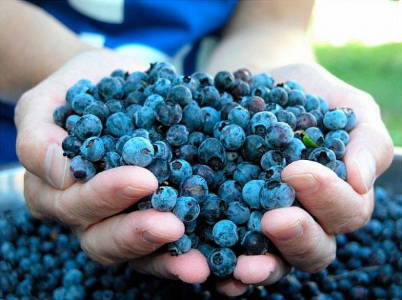 Україна збільшить експорт лохини, незважаючи на весняні заморозки фото, ілюстрація