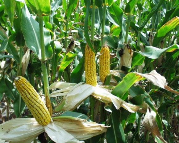 Ринок здивований цінами на українську кукурудзу  фото, ілюстрація