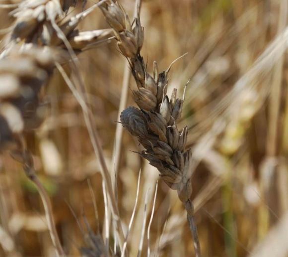 Завершення вегетації зернових культур залежить від погоди фото, ілюстрація