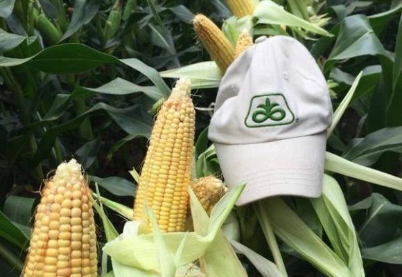Украина увеличивает выращивание поздних гибридов кукурузы, - DuPont Pioneer фото, иллюстрация