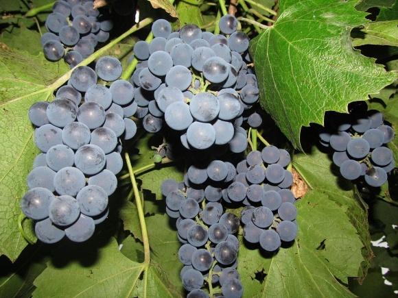 В Україні цього року можуть знищити понад тисячу гектарів винограду фото, ілюстрація