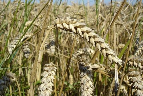 В Україні розпочато посів ярих зернових культур фото, ілюстрація