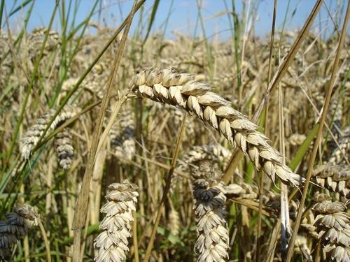 Аграрії України зібрали понад 200 тис. тон ранніх зернових фото, ілюстрація