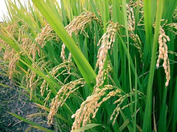 За прогнозами вчених, через зміни клімату поживність рису знижується фото, ілюстрація