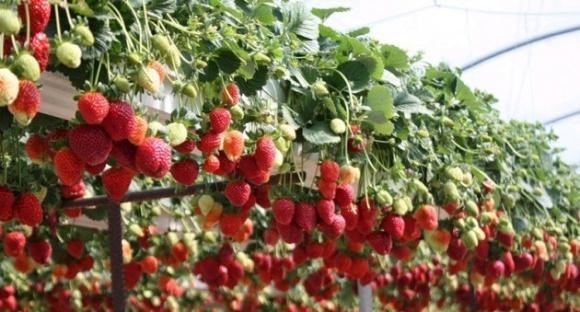 Главное в выращивании земляники на гидропонике - поддерживать уровень ЕС фото, иллюстрация