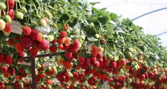 Головне у вирощуванні суниці на гідропоніці - підтримувати рівень ЕС фото, ілюстрація