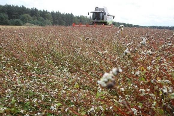 Аграрії наполягають на введенні дотацій на вирощування гречки фото, ілюстрація
