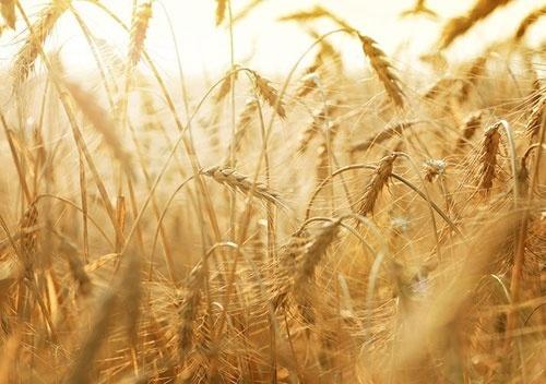 В Украине собрано 66.7 млн тонн зерна фото, иллюстрация