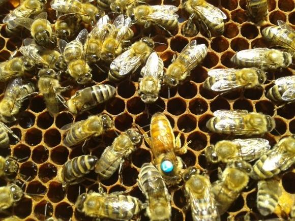 Вчені створили ген для знищення кліщів, які руйнують бджолині колонії фото, ілюстрація