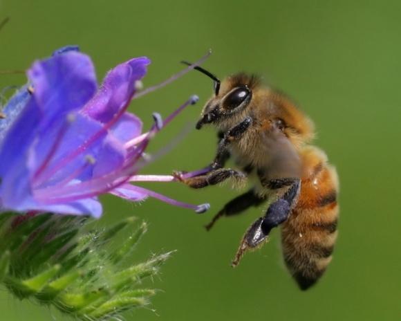 У США серйозна загроза винищення бджіл фото, ілюстрація