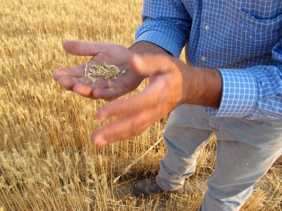 Пораженное вредителями зерно нового урожая может стать серьезной проблемой экспорта – эксперт фото, иллюстрация