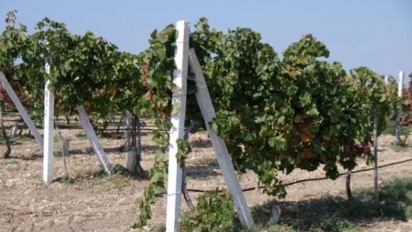 Виноградари юга Украины едва выходят на самоокупаемость  фото, иллюстрация