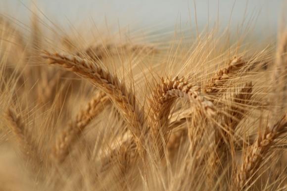 Во Вьетнаме отменен запрет на импорт украинской пшеницы фото, иллюстрация