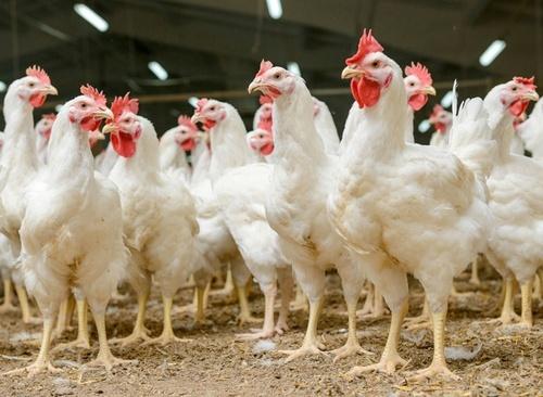У Європарламенті незадоволені зростанням експорту української курятини до ЄС фото, ілюстрація