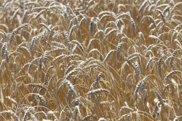 Запаси пшениці знизилися на 12,5% - до 12,3 млн.тонн фото, ілюстрація