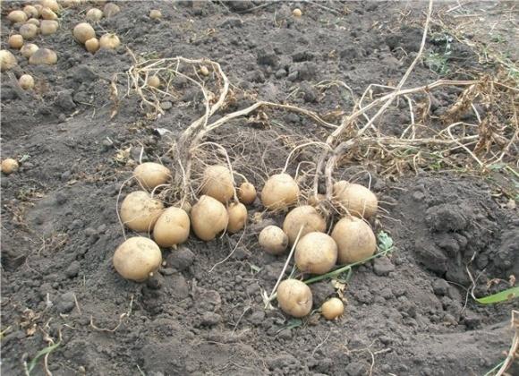 Ситуація з картоплею на ринку України досить не рівномірна  фото, ілюстрація