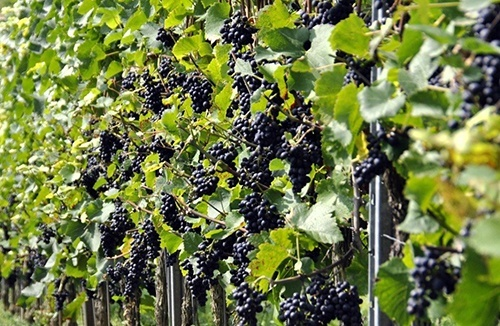 Кримські винороби можуть зупинитися через санкції фото, ілюстрація