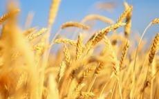 ДПЗКУ планує закупити 360 тис. тонн  зернових фото, ілюстрація
