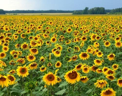 «Епіцентр К» збільшує посіви високоолеїнового соняшнику фото, ілюстрація