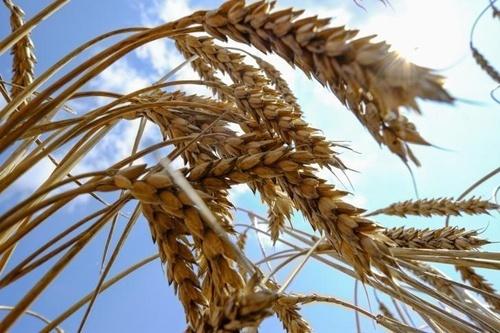 Переробка зернових на борошно скоротилася на 17.4% фото, ілюстрація