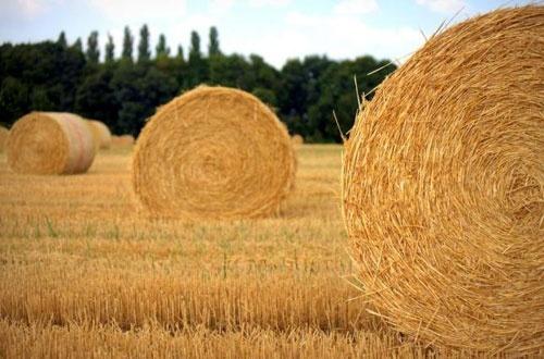 У Чернівецькій області завершилося збирання ранніх зернових фото, ілюстрація