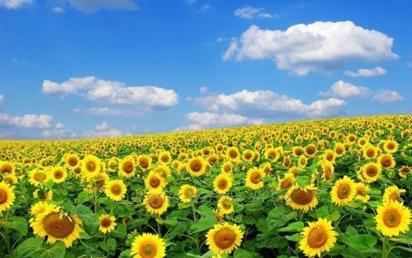 Сівбу соняшнику вже  завершено у п'яти областях України фото, ілюстрація