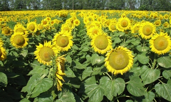 Як правильно захистити посіви соняшнику фото, ілюстрація