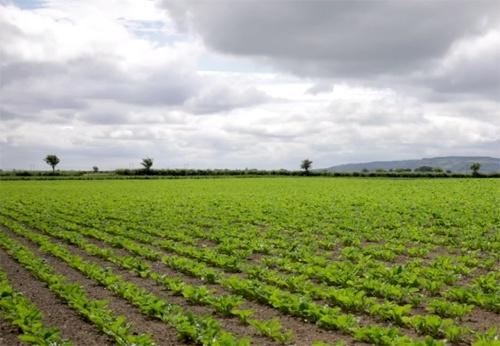 На Волині планується збільшити посівну площу цукрових буряків фото, ілюстрація