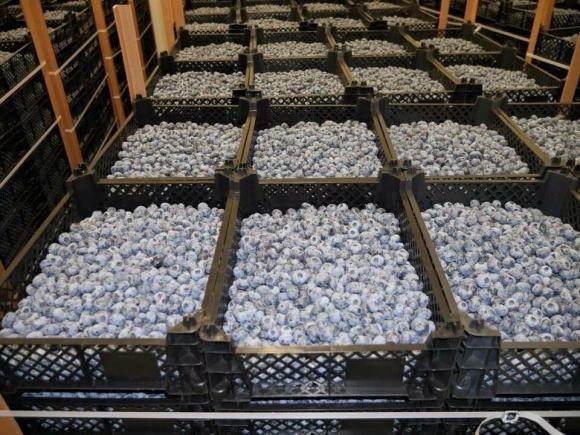 Собиратели ягод-дикоросов зарабатывают десятки тысяч гривен в неделю фото, иллюстрация