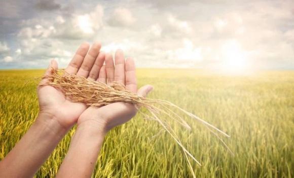 Агролайфхак: особенности сбора озимой пшеницы фото, иллюстрация