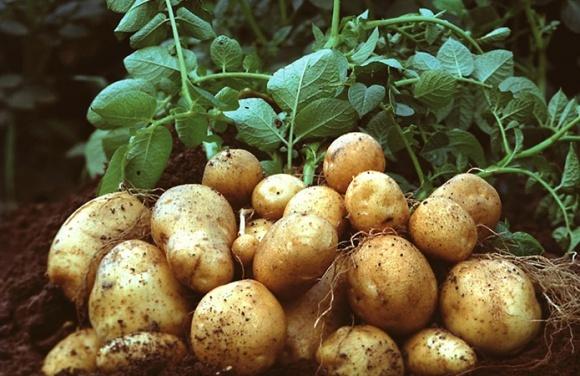 Несподіванок на вітчизняному ринку картоплі не очікуватимуть фото, ілюстрація