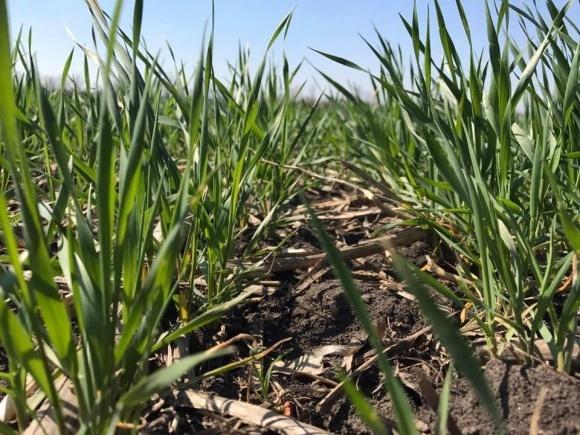 Помогут ли регуляторы роста спасти примерзшие зерновые? фото, иллюстрация