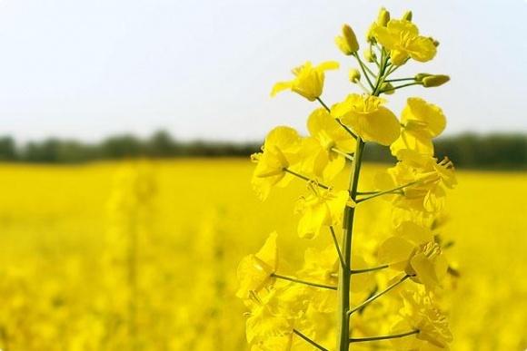В Украине урожайность рапса выросла на 40% фото, иллюстрация