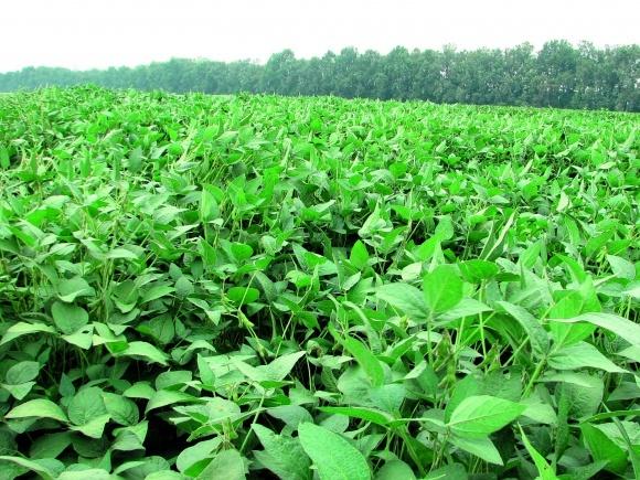 Украина будет «Бразилией Европы», если станет экспортером не ГМО-сои фото, иллюстрация