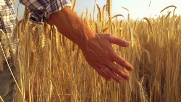 Мінагрополітики прогнозує врожай пшениці 23 млн тонн фото, ілюстрація