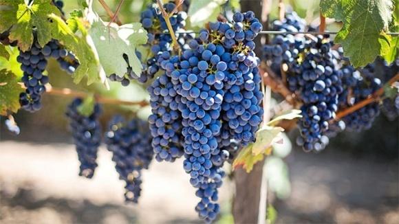 На юге Украины начался сбор винограда фото, иллюстрация