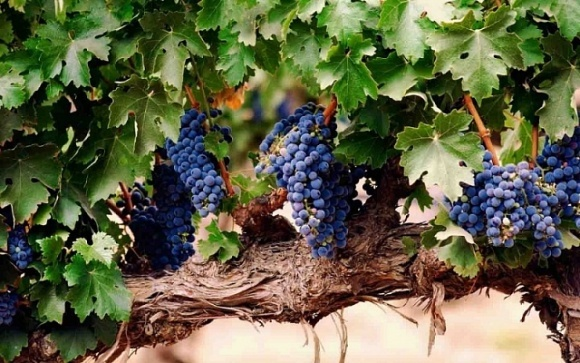 Французи навчилися робити паливо з відходів виноробства фото, ілюстрація