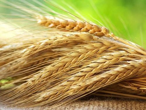 Українські аграрії засіяли зерновими понад 50 тис га фото, ілюстрація