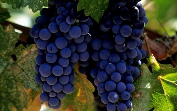 У Запорізькій області посадять виноградники фото, ілюстрація