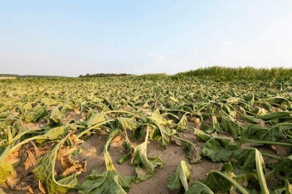 Британські фермери відмовляються вирощувати буряк через заборону неонікотиноїдів фото, ілюстрація
