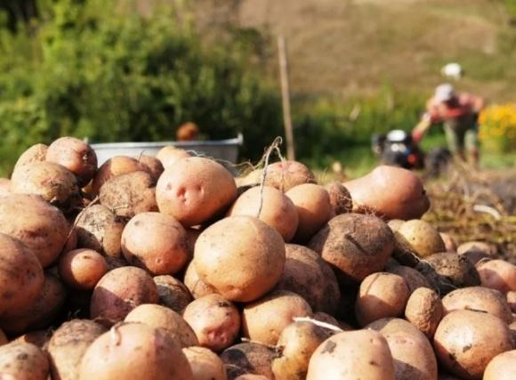 Проливные дожди уже негативно сказались на качестве и ценах на картофель фото, иллюстрация