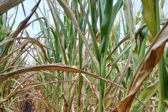 Аграрии высмеяли «прогнозистов» за «космический» урожай зерна фото, иллюстрация