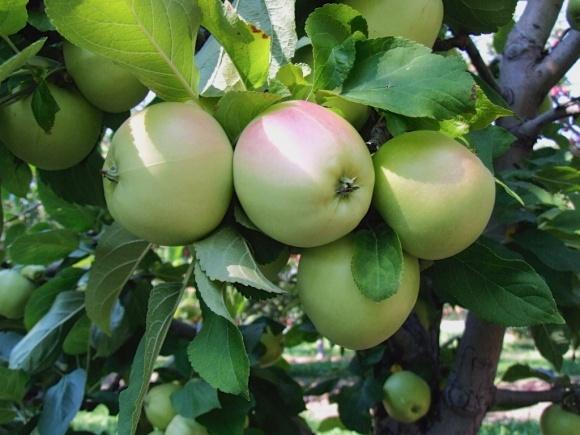 На отечественные рынки поступили украинские яблоки нового урожая фото, иллюстрация