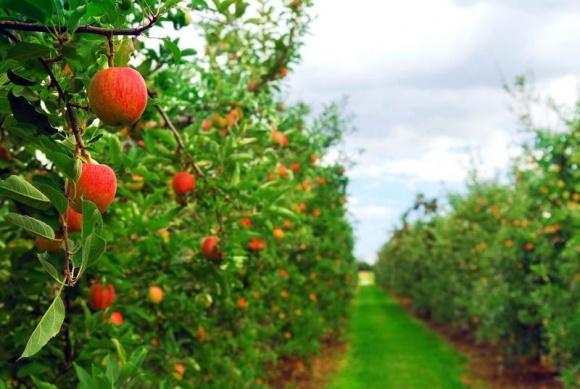 Украина осталась без конкурента на мировом рынке яблок  фото, иллюстрация